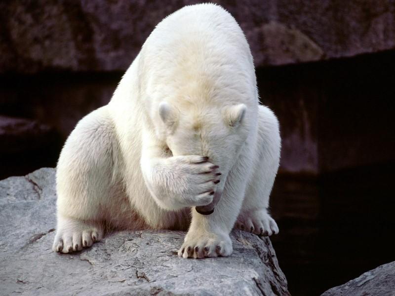 Orso polare gay